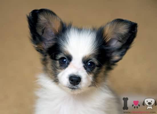 cachorro de papillón con 2 meses