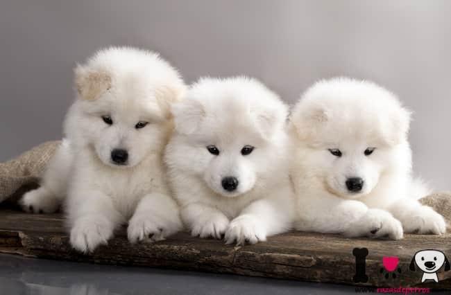 cachorros de samoyedo con 3 meses