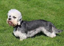 dandie dinmont terrier blanco y gris