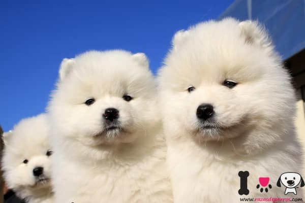 dos cachorros samoyedo