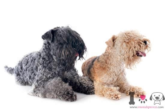 dos perros lakeland terrier gris y marrón
