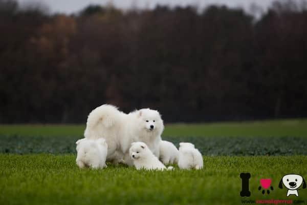 hembra de samoyedo con sus 4 cachorros