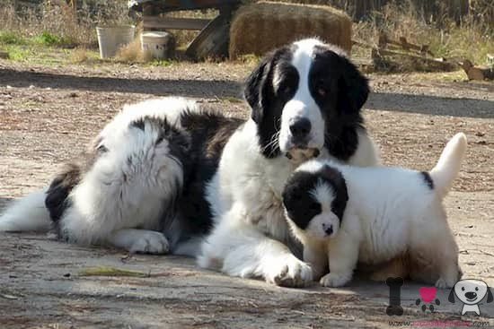hembra mastín del pirineo con su cachorro