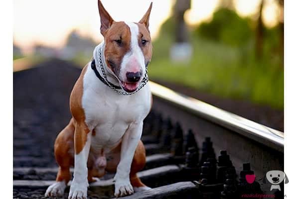 macho de bull terrier en vía del tren