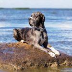 Nombres para perros gran danés
