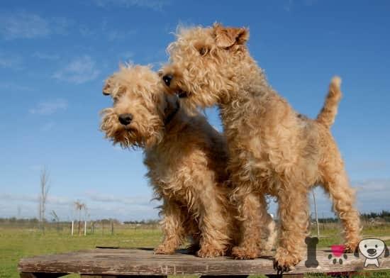 macho y hembra de lakeland terrier