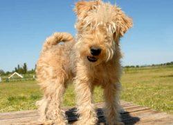 perrita de la raza lakeland terrier