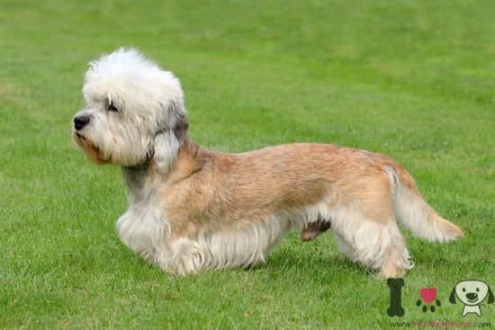perro dandie dinmont terrier canela y marrón
