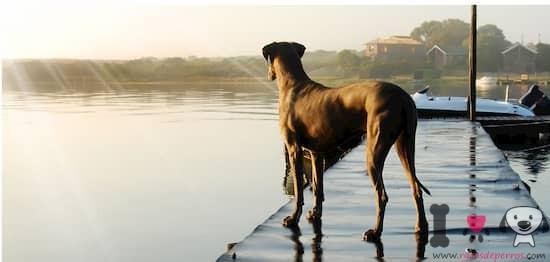 perro de la raza gran danés