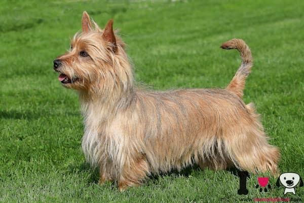 perro de la raza terrier australiano