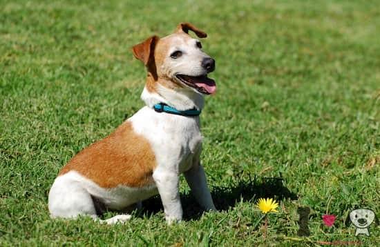 perro de raza jack russell terrier en el parque