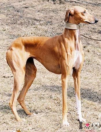 perro lebrel africano