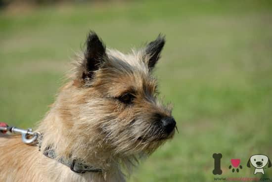 preciosa hembra de raza cairn terrier