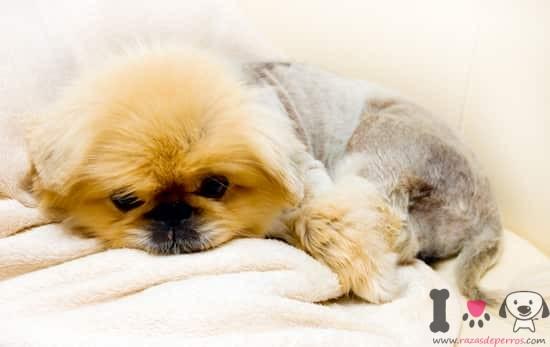 precioso cachorro de pekinés tumbado