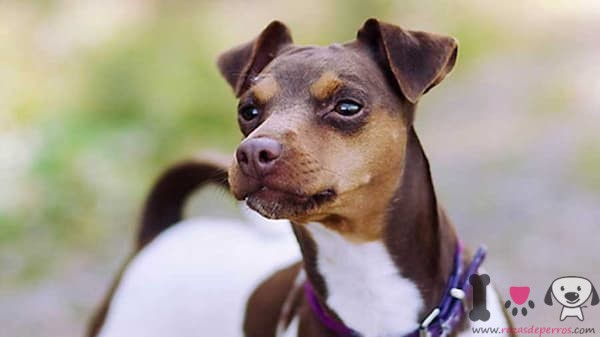 terrier brasileño blanco y marrón