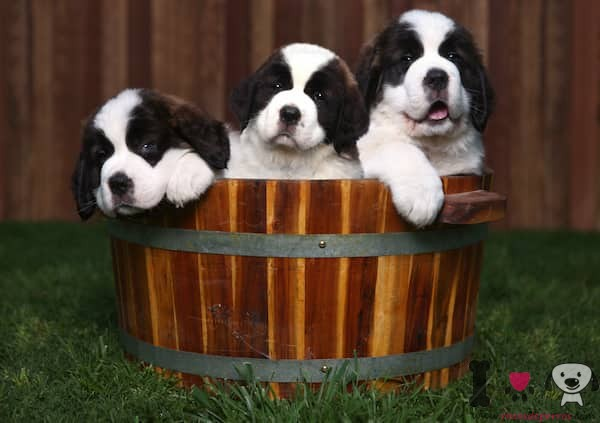tres cachorros de san bernardo en un cubo de madera