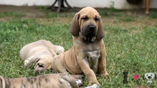 cachorros de fila brasileiro