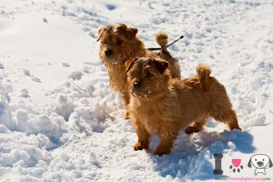 dos perros norfolk terrier en la nieve