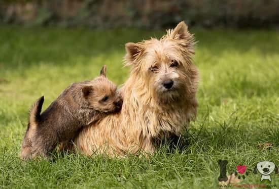 hembra de norwich terrier con su cachorro