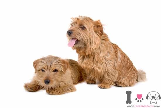hembra y macho norfolk terrier