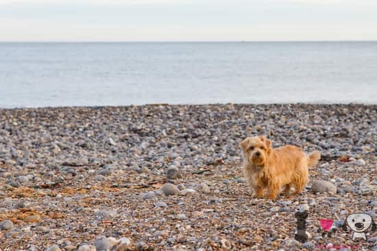 norfolk terrier marrón en la playa