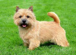 perro de la raza norwich terrier en el parque