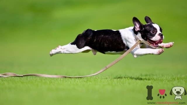 perro bulldog francés huyendo en el parque