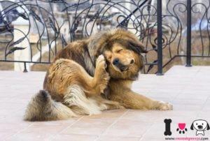perro mastín arrascandose las orejas