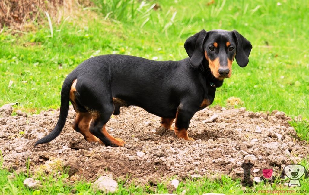 Fotos del perro salchicha Razas de perros