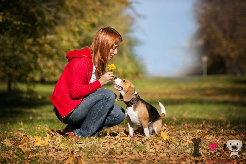 Beagle cariñoso