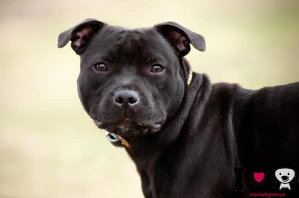 Staffordshire bull terrier cachorro color negro