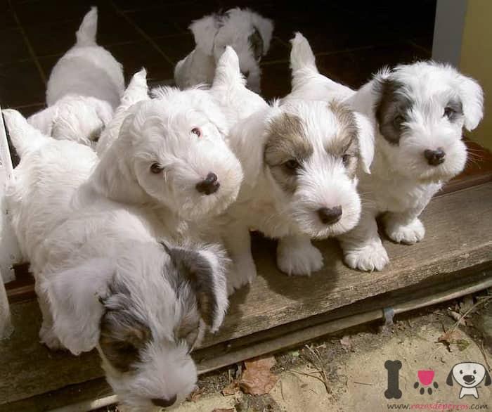 cachorros de la raza skye terrier