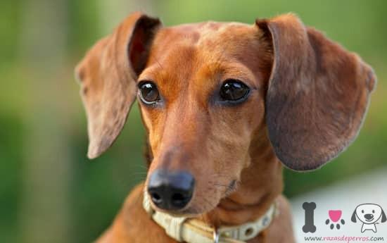 cara preciosa de un teckel - dachshund