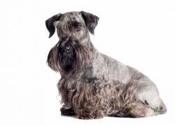 cesky terrier gris