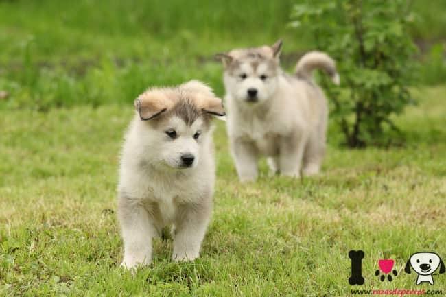 dos preciosos cachorros alaska
