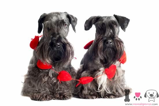 hembra y macho cesky terrier