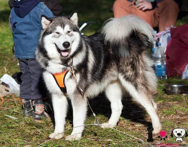 perro alaskan malamute con correa