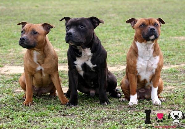 tres ejemplares de la raza Staffordshire bull terrier