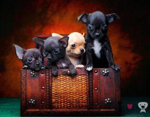 cachorros de chihuahuas bonitos