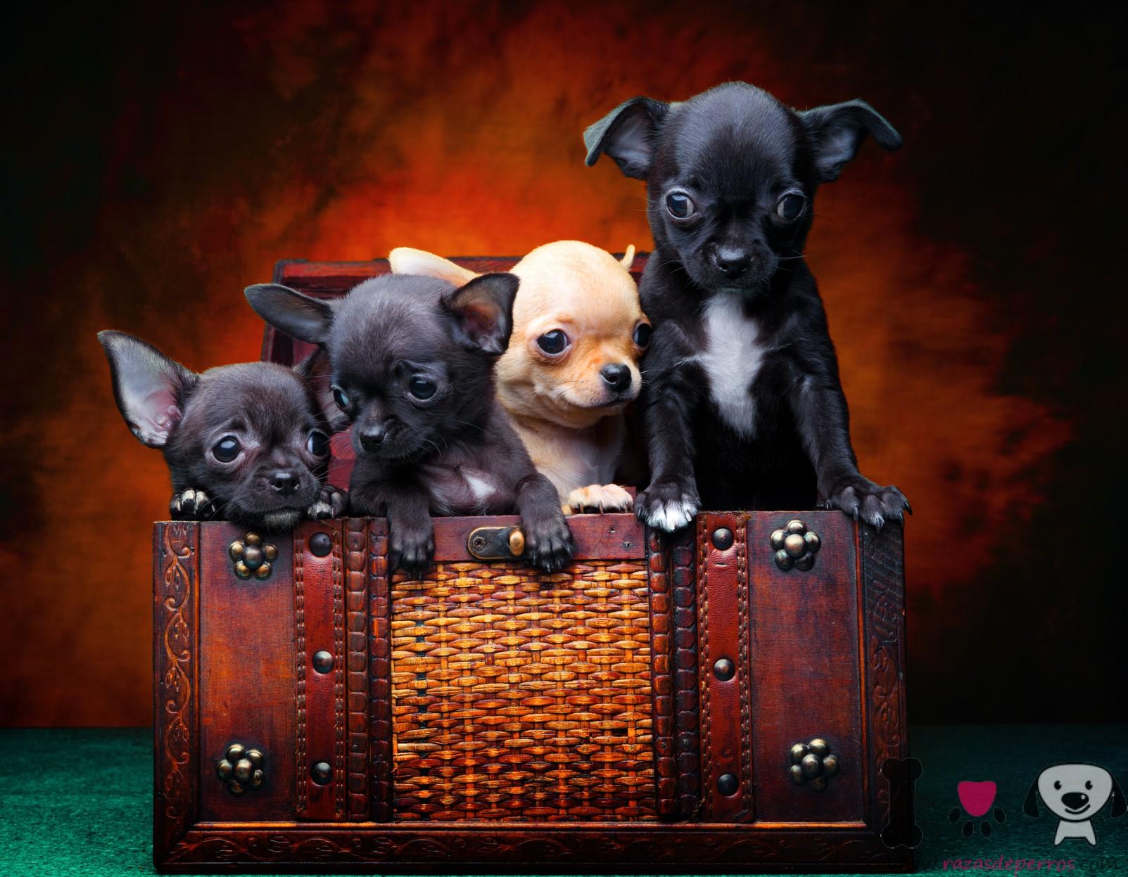 Gestación Y Parto Del Chihuahua Razas De Perros
