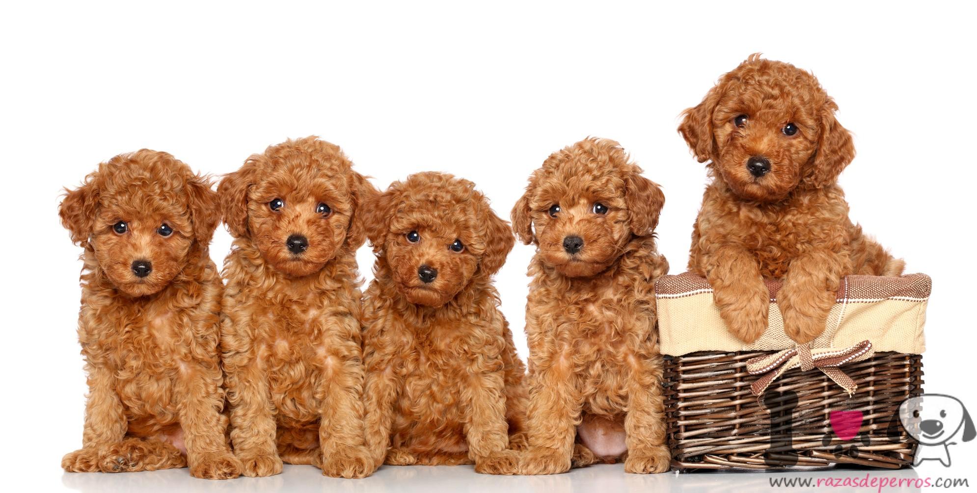 cachorros caniche