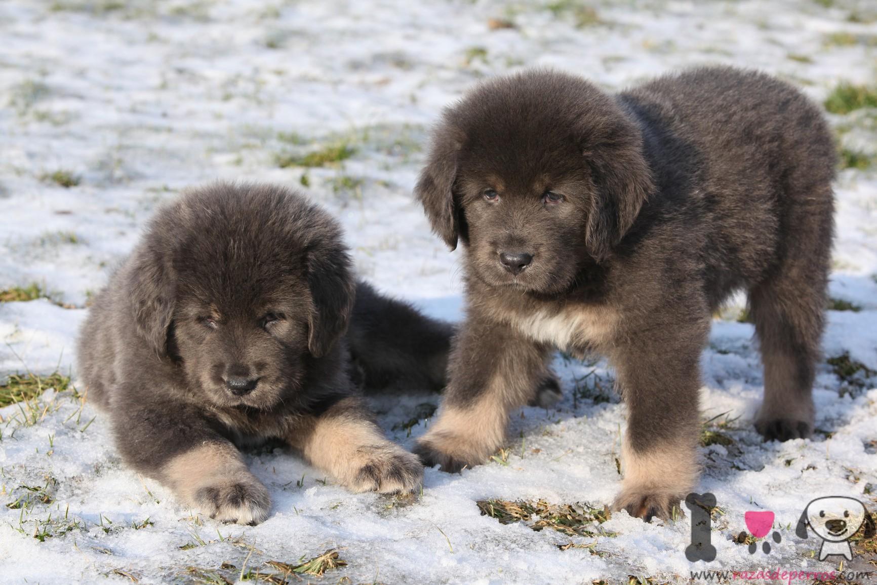 cachorros mastin tibetano