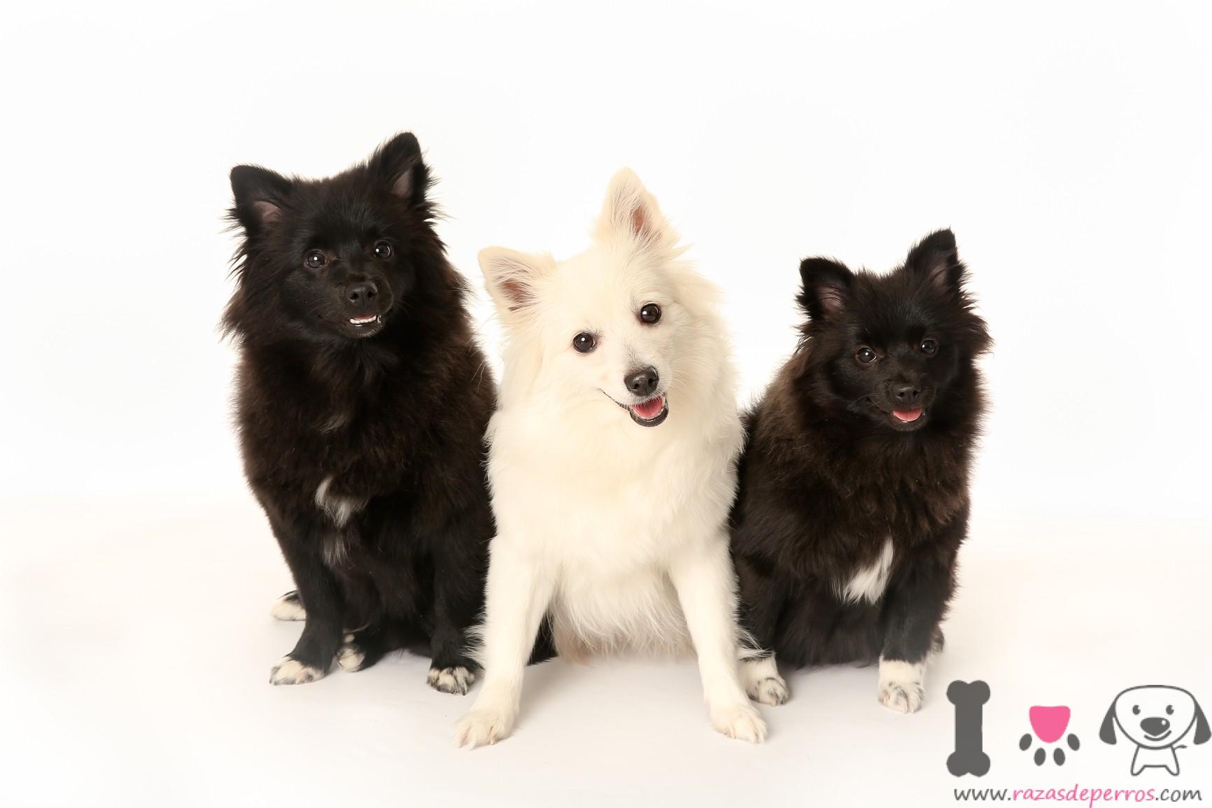 tres perros volpino italiano