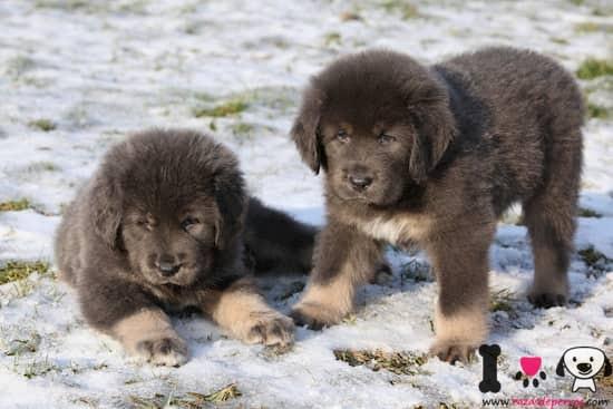 Dos cachorros bicolores de mastín tibetano