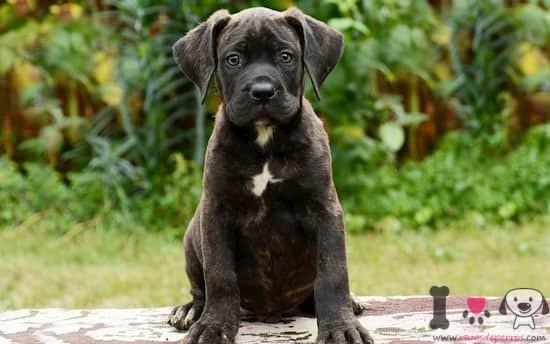 cachorro presa canario negro y blanco con 3 meses