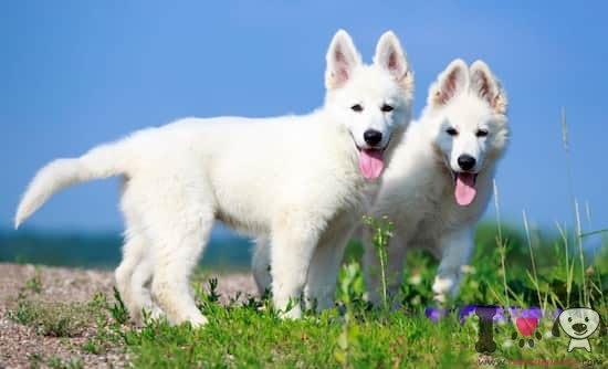 cachorros de pastor suizo