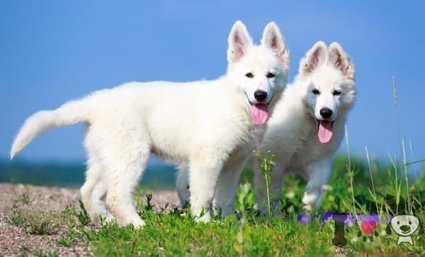 dos cachorro pastor suizo
