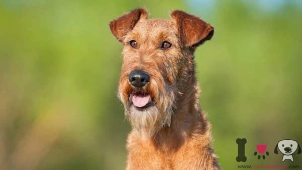 macho de terrier irlandés