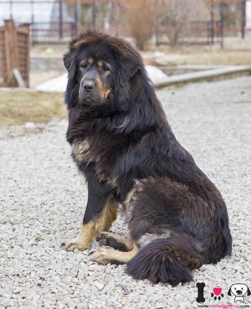 mastín tibetano color negro y marrón claro