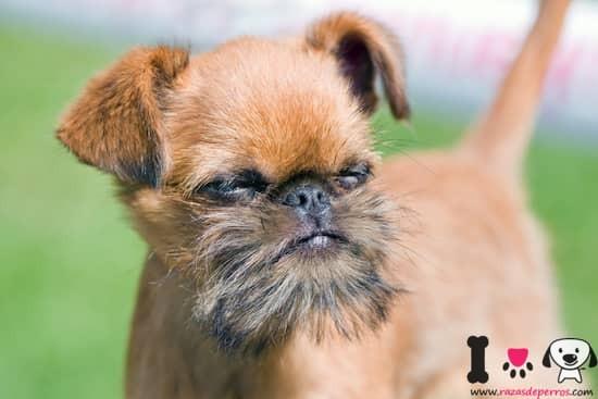 perro de la raza grifón de bruselas